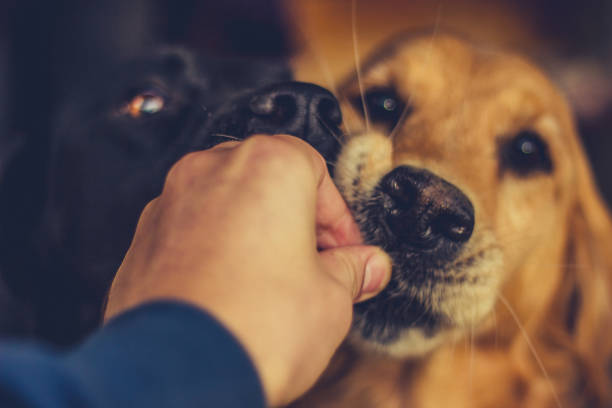 hond te voeden - genot stockfoto's en -beelden
