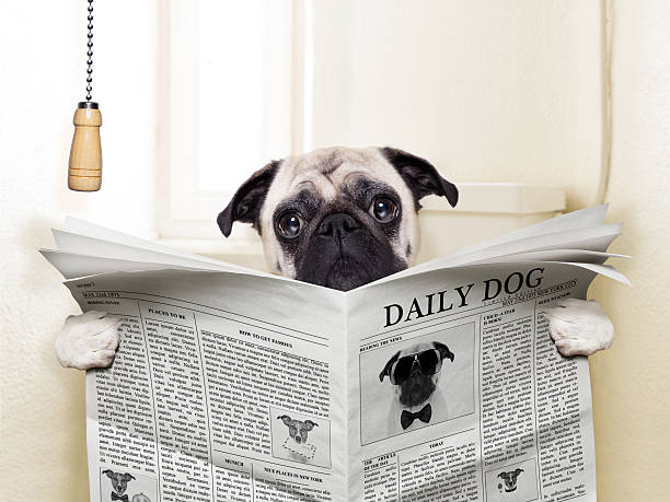 dog toilet pug dog sitting on toilet and reading magazine having a break poop stock pictures, royalty-free photos & images