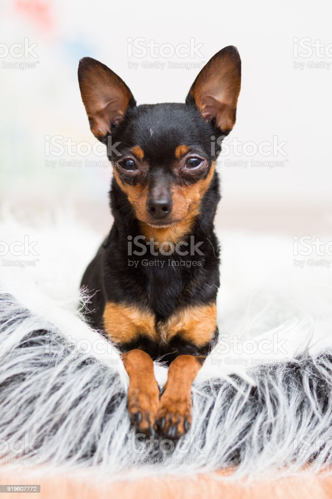 Dog Toy Terrier black lies in their couch stock photo