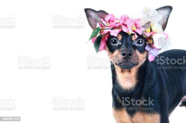 Dog toy terrier in a wreath of flowers isolated picture id695882330?b=1&k=6&m=695882330&s=612x612&h=u5ihuu2k99q8ywkmdsegvplgrag19tupeckzz 1b4fu=