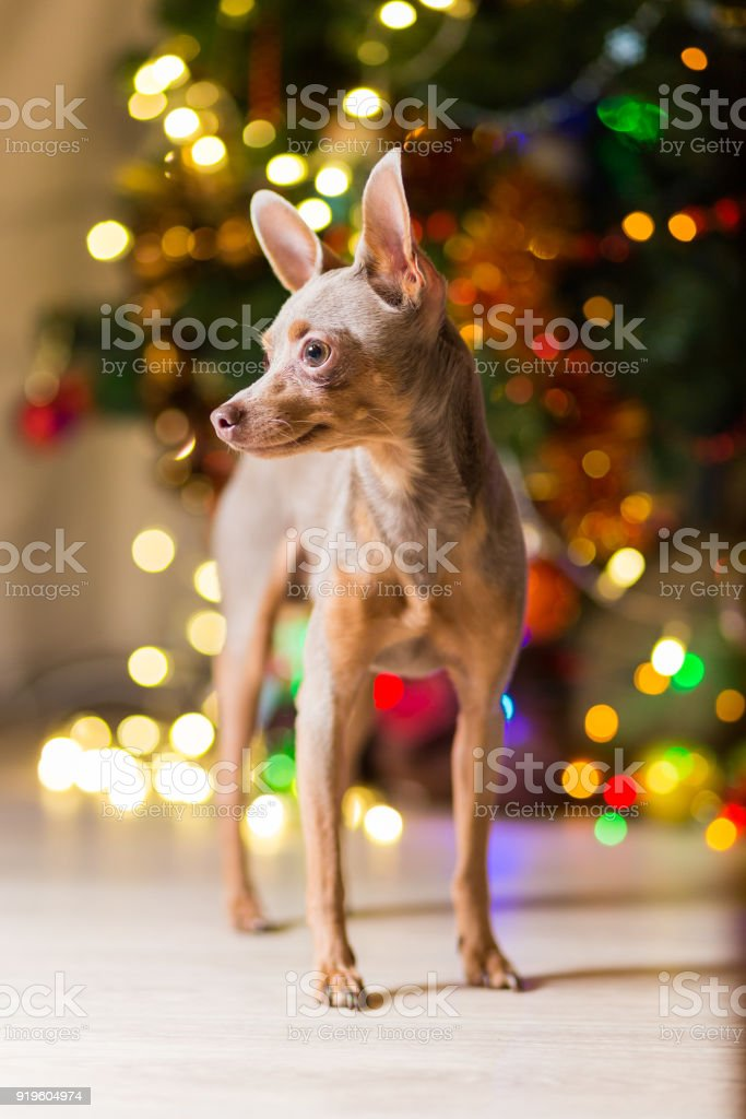 Dog Toy Terrier light brown color is on the floor near a Christmas tree. stock photo