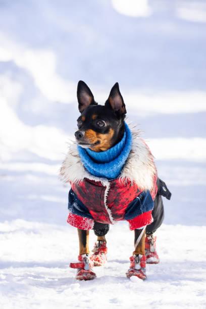 hund toy terrier - manchesterterrier bildbanksfoton och bilder