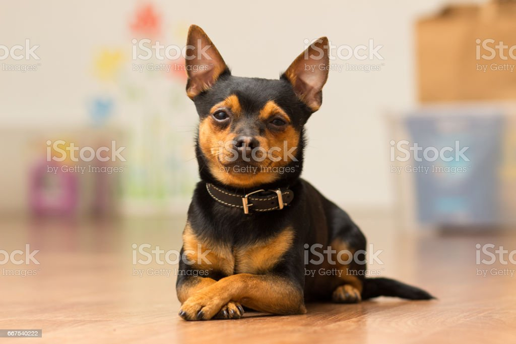 Dog Toy-terrier lies on the floor with crossed paws stock photo