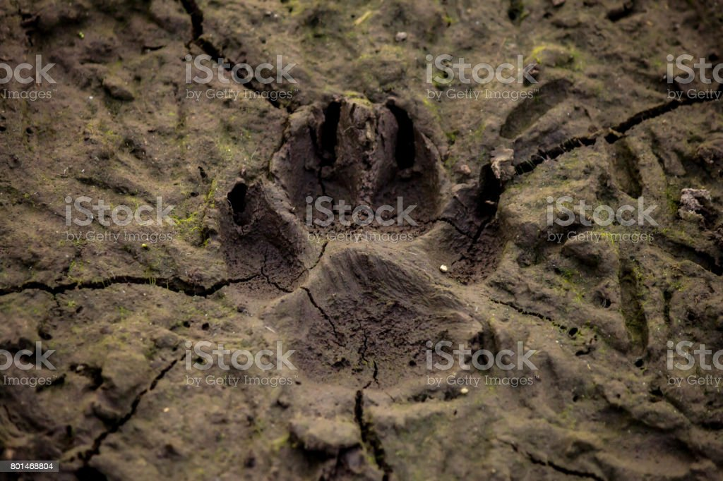 Dog track on mud stock photo