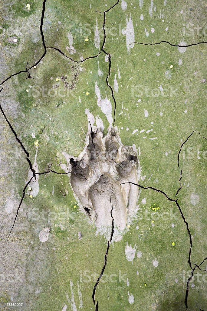 dog  tracks in cracked mud stock photo