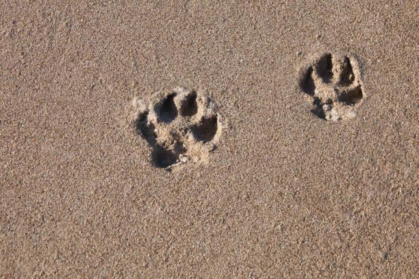 Las pistas del perro en la arena de mar en la orilla - foto de stock
