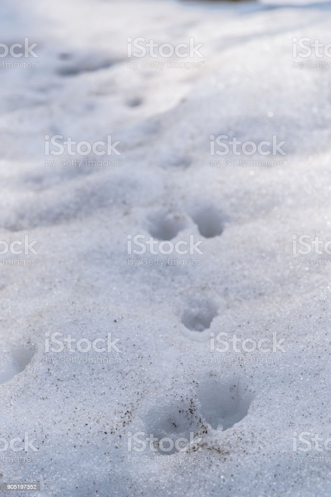 Dog trail on the snow stock photo