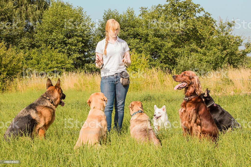 Dog trainer teaching dogs stock photo