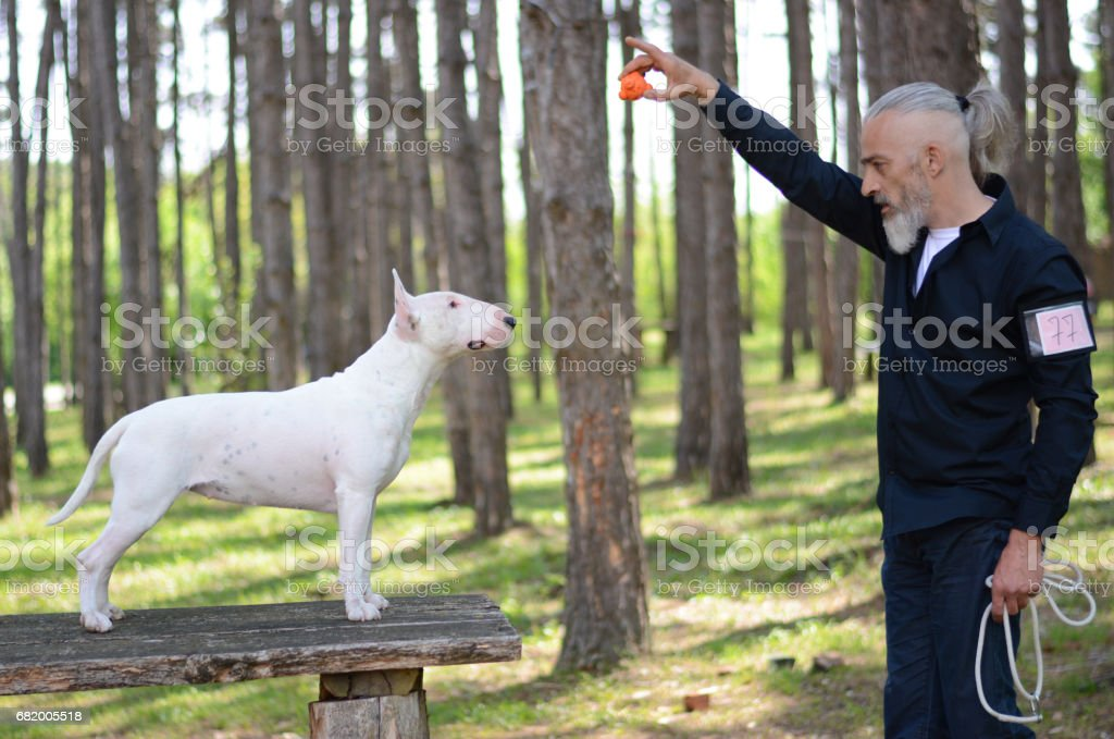 Dog trainer with a English bull-terrier on dog show stock photo