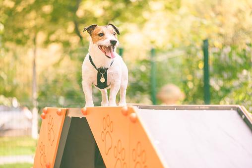 Dog training agility tricks on dog walk equipment