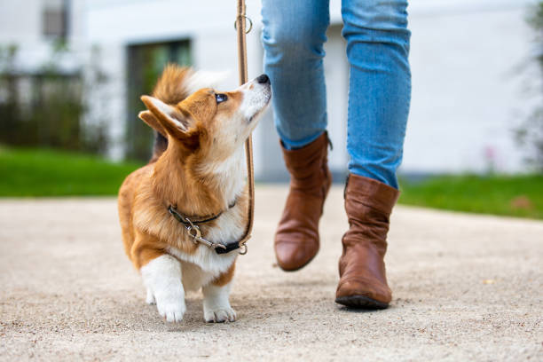 dog training: corgi puppy on a leash from a woman stock photo