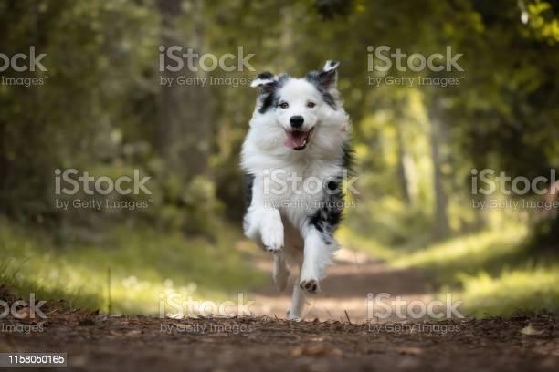 Dog training in forest australian shepherd running looking at camera picture id1158050165?b=1&k=6&m=1158050165&s=612x612&h=mgzkvvdrui4bkpfj3lc7i pf4nnxzhxmwd4ypyrbhce=