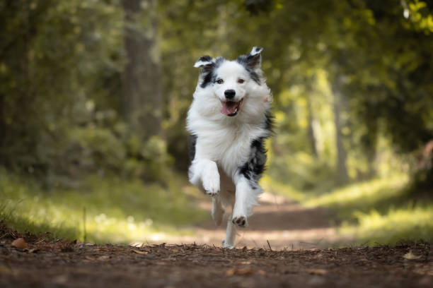 dog training in forest, australian shepherd running, looking at camera dog training in forest, australian shepherd running, looking at camera australian shepherd stock pictures, royalty-free photos & images