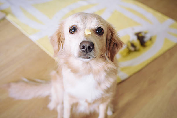 Dog training Dog training with a piece of cheese animal tricks stock pictures, royalty-free photos & images