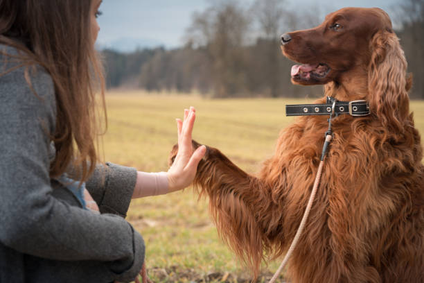 Dog training Woman training dog irish setter stock pictures, royalty-free photos & images