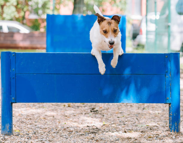 Dog training to jump over hurdle at doggy park stock photo