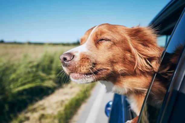 Dog travel by car picture id1155030342?b=1&k=6&m=1155030342&s=612x612&w=0&h=quzqiqlxog0smzl61mv5hr5rbrmpckqpk8qbiiuec1g=