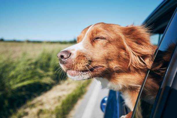 dog travel by car - canide foto e immagini stock