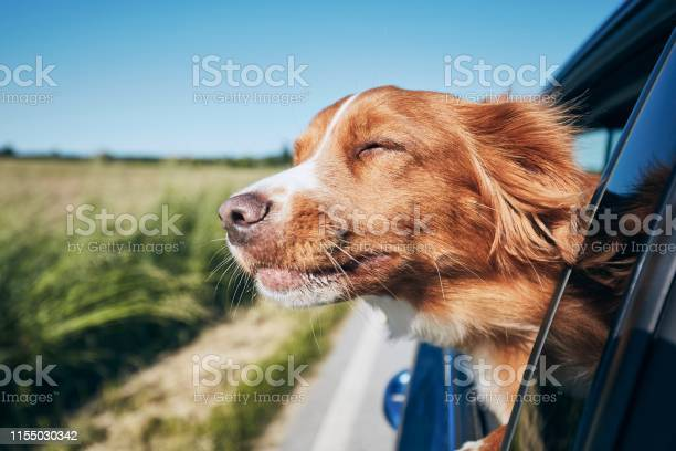 Photo of Dog travel by car