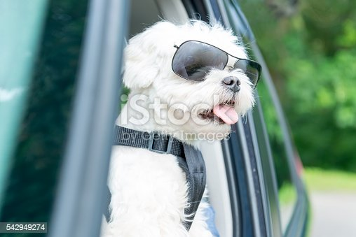 istock Dog traveling in a car 542949274