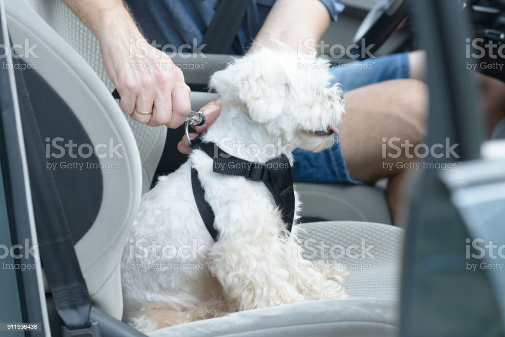 Dog traveling in a car stock photo