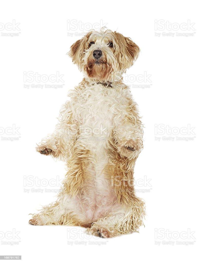 Dog tricks royalty-free stock photo