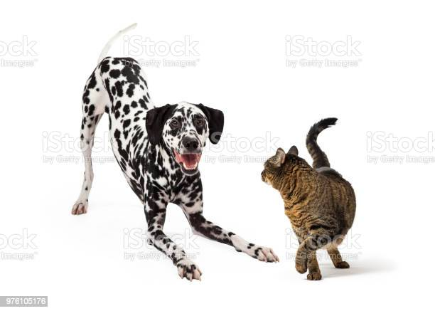Dog trying to play with cat picture id976105176?b=1&k=6&m=976105176&s=612x612&h=etozg1klfcqxm65iosyppclis8dkfxvdf0snag00ztk=