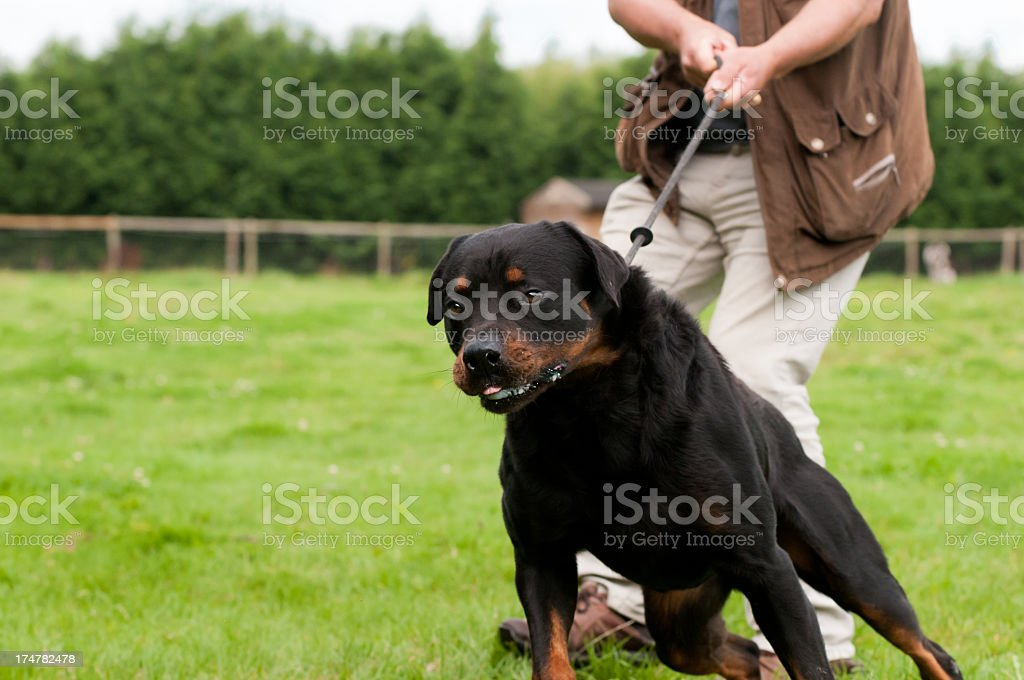 Dog trying to pull person holding leash stock photo