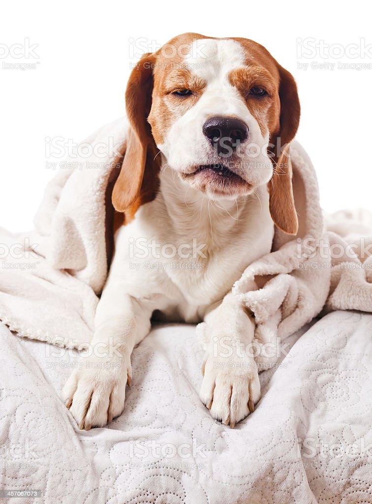 dog under a blanket on white royalty-free stock photo