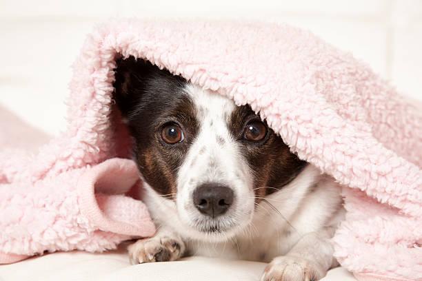 Dog under blanket picture id584465036?b=1&k=6&m=584465036&s=612x612&w=0&h=edrahu7v9q4yvfbeqdyj1sjivqwutenq1pl5lo8esbw=