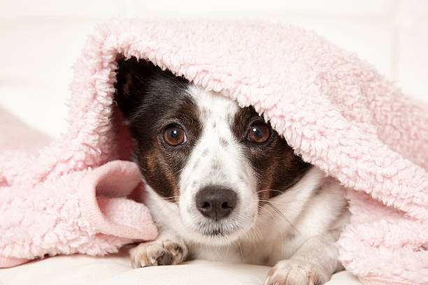 Dog Under Blanket A cute little dog underneath her pink blanket. wrapped in a blanket stock pictures, royalty-free photos & images