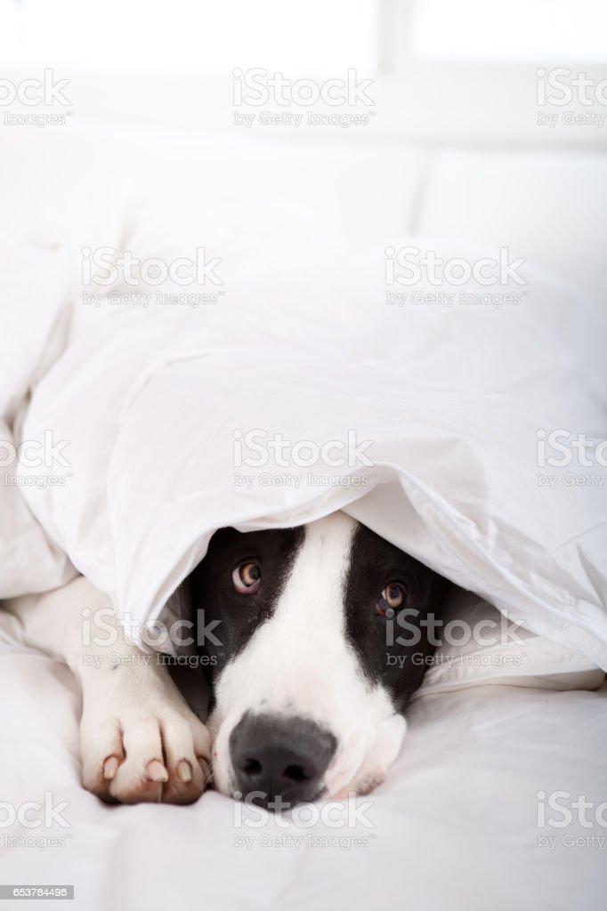 Dog under duvet cover stock photo