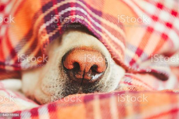 Dog under the blanket picture id540115594?b=1&k=6&m=540115594&s=612x612&h=q0yyvuvhovc onyjv34szrzjs2eorlgsf6rfu z46n0=
