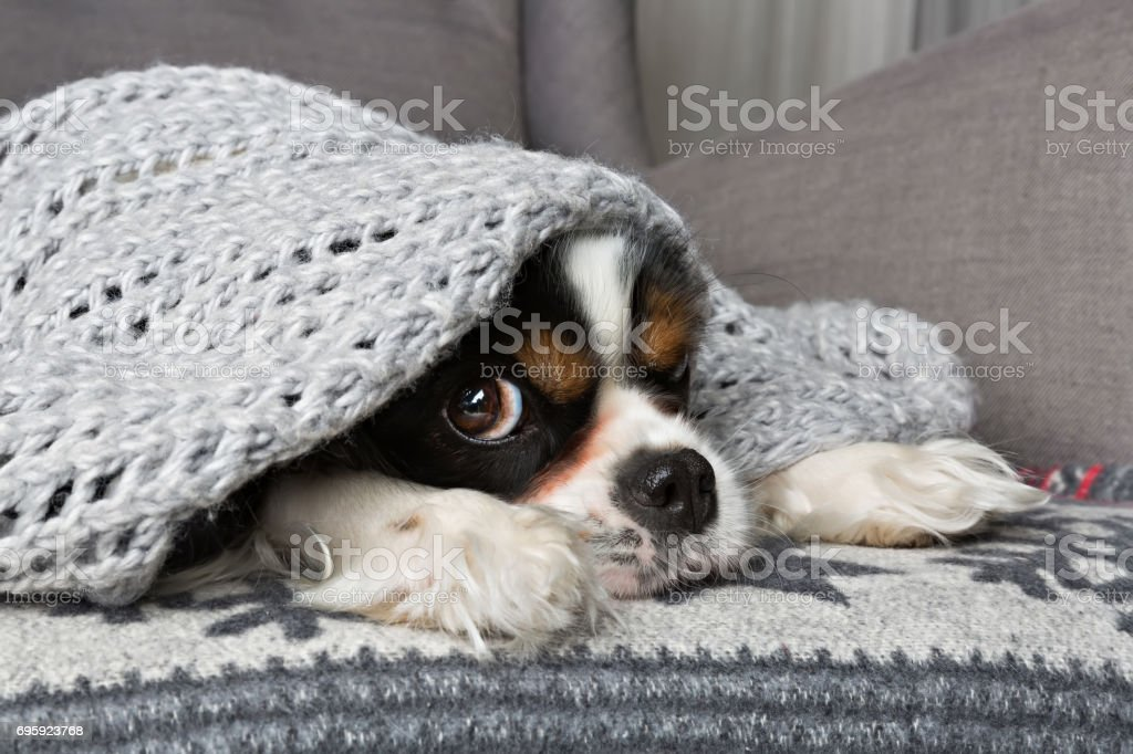 dog under the blanket stock photo