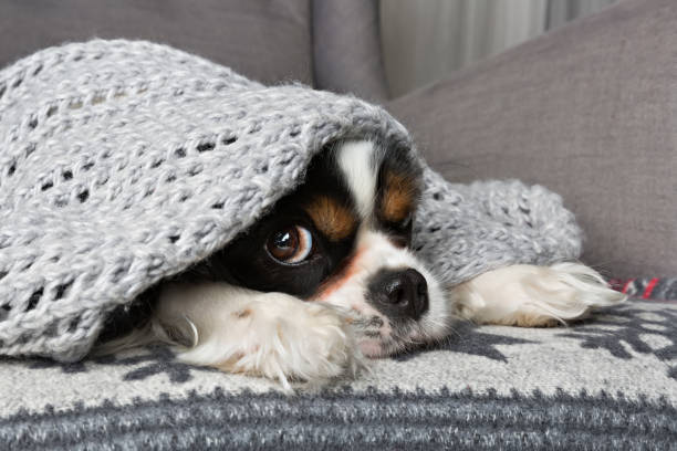 dog under the blanket stock photo