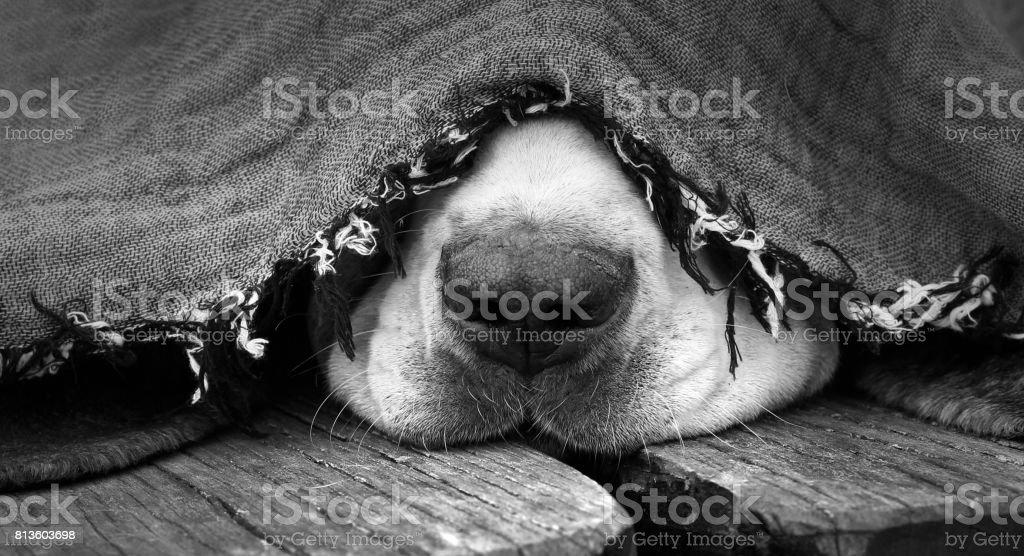 Dog under the blanket – zdjęcie
