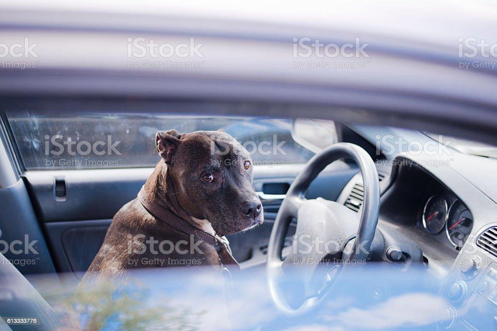 Dog unhappy sit behind wheel of car stock photo