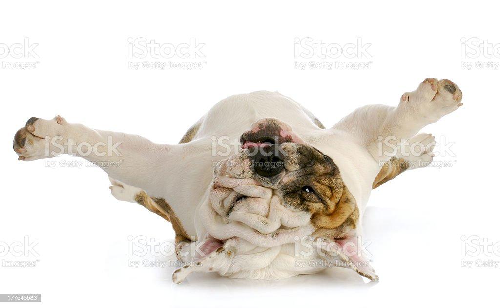 dog upside down stock photo