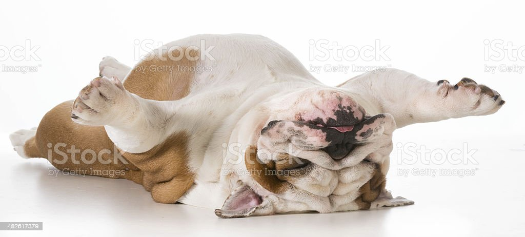 dog upside down stock photo