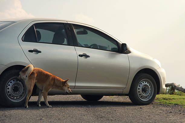 Hund Urinieren auf Auto – Foto