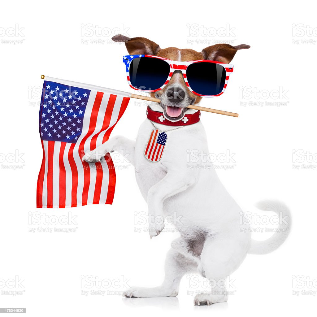 jack russell dog holding a flag of usa on independence day on 4th of...