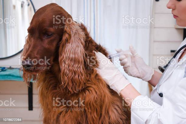 Dog vaccinated by veterinarian picture id1078622264?b=1&k=6&m=1078622264&s=612x612&h=daevbrctc0wztxt facpng47hjp2qs1sgjtlowok1cy=