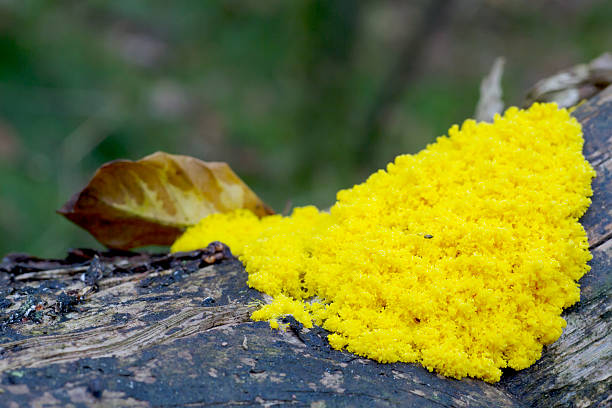 Dog Vomit Slime Mould (Fuligo septica) Fuligo septica is a species of plasmodial slime mold, and a member of the Myxomycetes class. It is commonly known as the dog vomit slime mold slime mold stock pictures, royalty-free photos & images