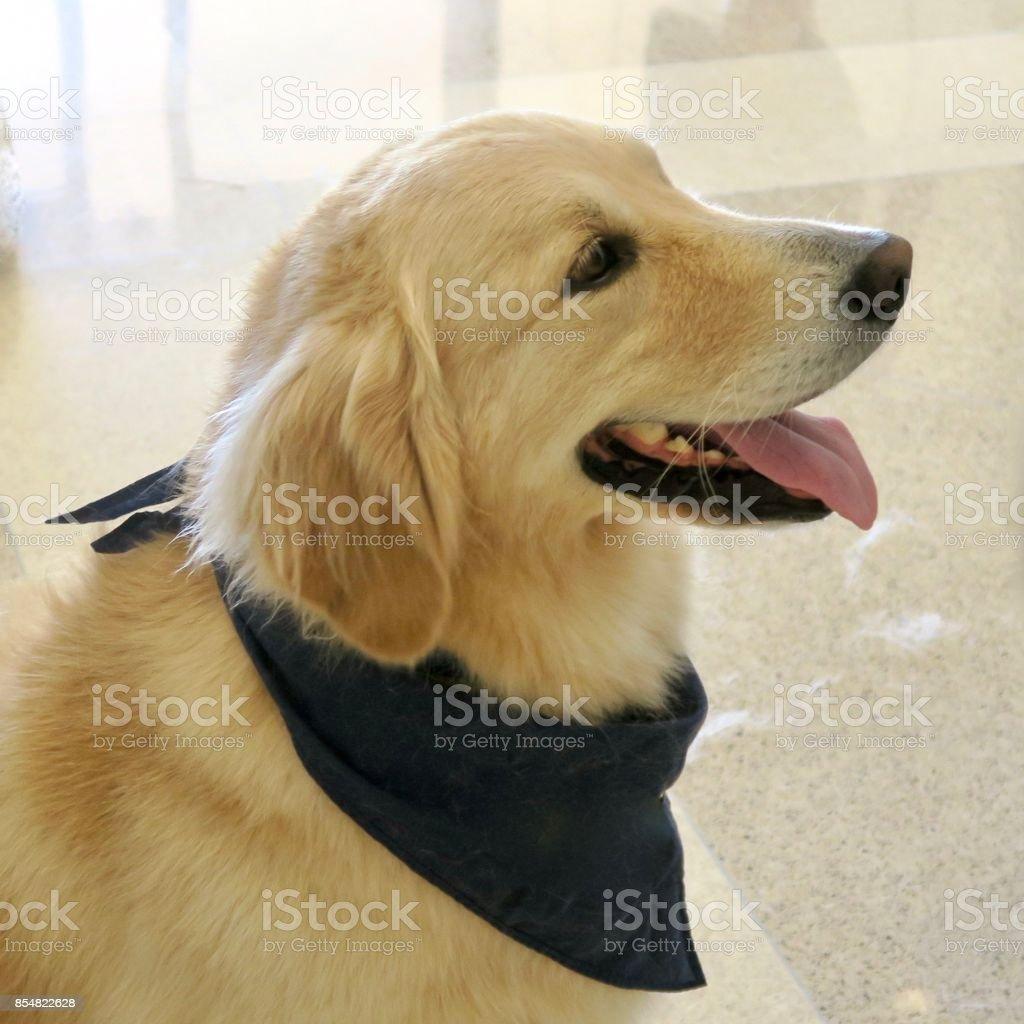 dog w bandana stock photo