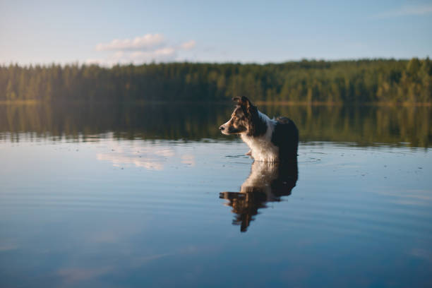 Dog wading through the water Border Collie wading in a like during sunset in Sweden. wading stock pictures, royalty-free photos & images