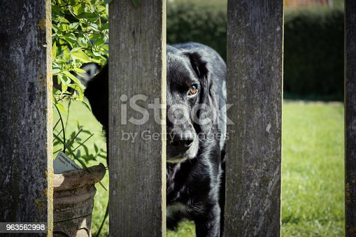 A labrador springer spaniel cross has lost his ball on the other side of a fence. He waits patiently for his owner to return it to him.