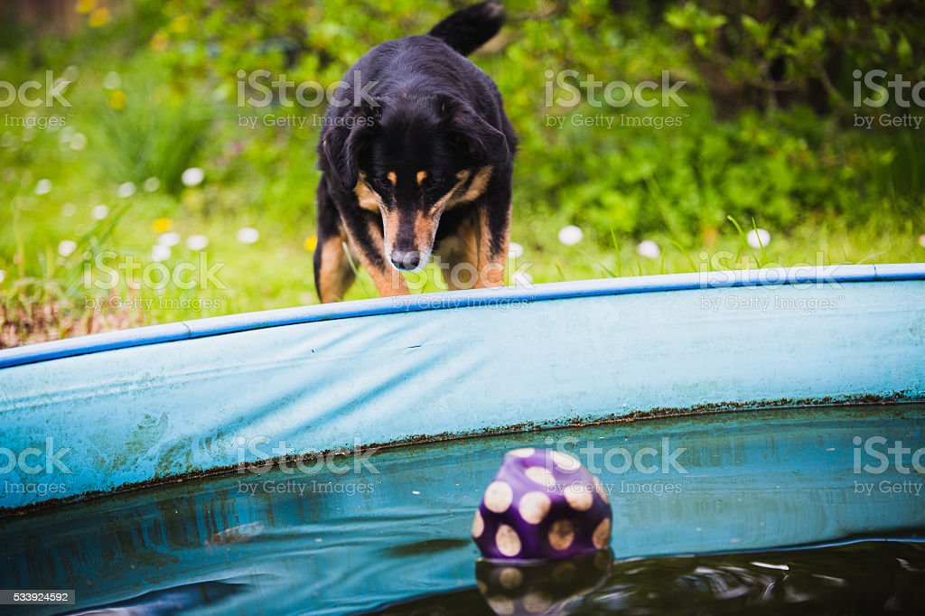 dog waiting for ball in pool stock photo