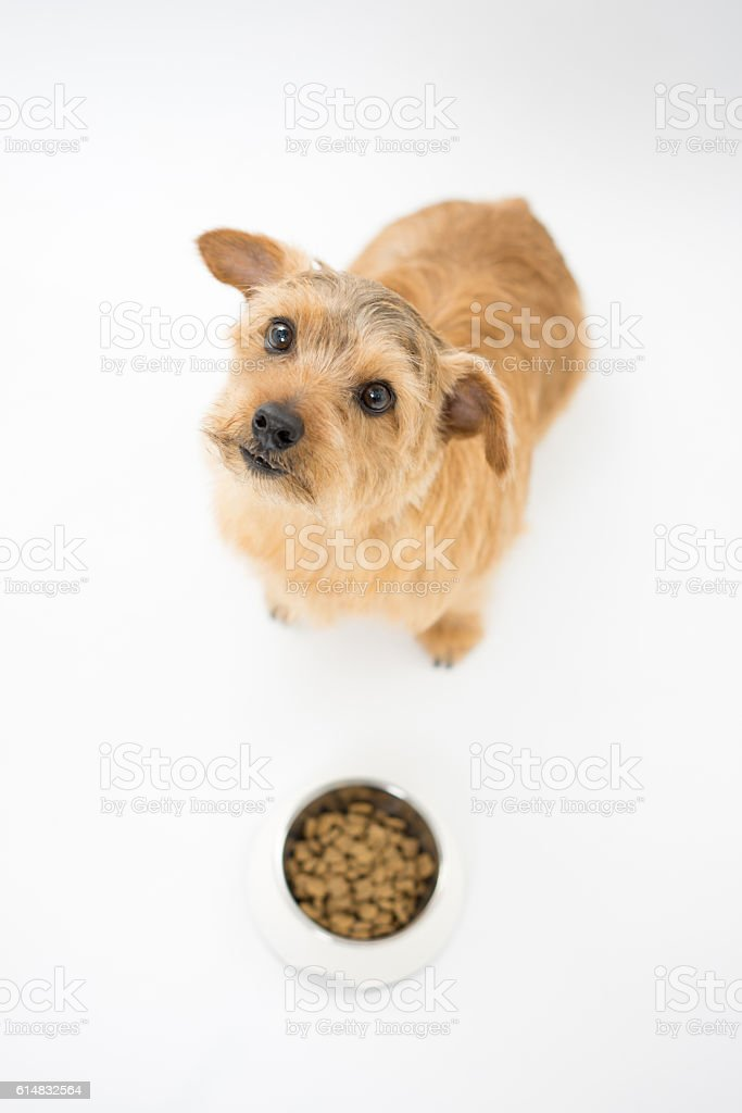Dog Waiting For Dinner Stock Photo & More Pictures of Animal