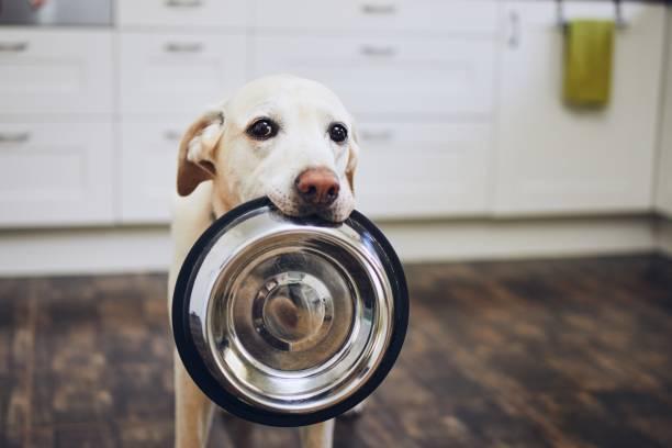 Dog waiting for feeding stock photo