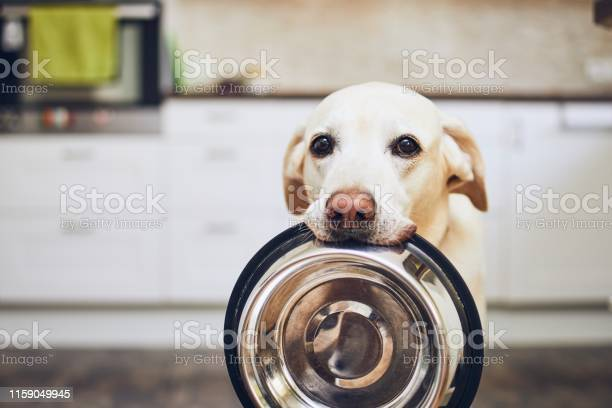 Dog waiting for feeding picture id1159049945?b=1&k=6&m=1159049945&s=612x612&h=tncb4sp87mlvucofwirjjozrm8elf504i4qfme2dafi=